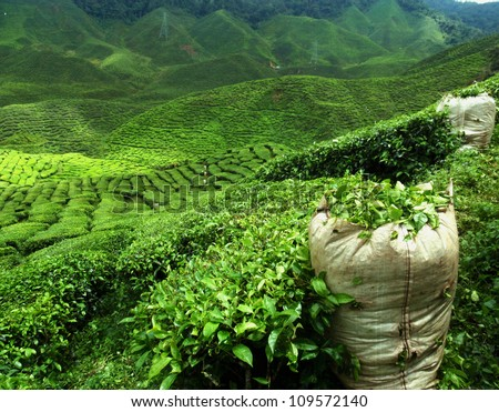 green tea plantation landscape - stock photo
