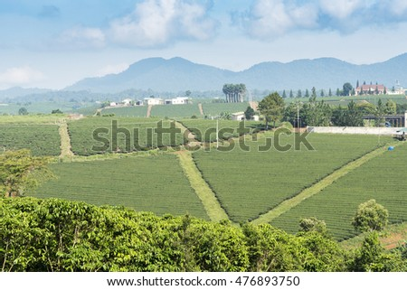 green tea plantation landscape at Bao Loc, Lam Dong, Vietnam
