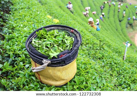 green tea plantation landscape in Thailand - stock photo