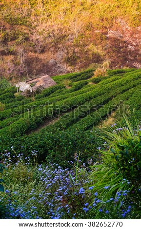 Green Tea Plantation on Hillside in Thailand in the Morning - stock photo
