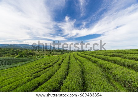 Green tea plantation on the mountain have blue sky and white clouds are background.