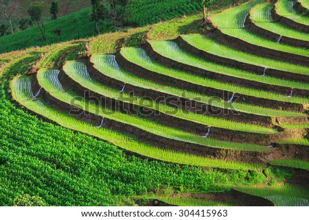 green terraced rice field at Chiangmai Thailand