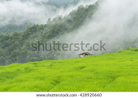Green Terraced Rice Field (Ban Pa Pong Peang) in Chiangmai, Thailand.Mountain and fog background