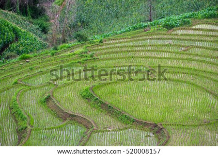 Green Terraced Rice Field in Chiangmai, Thailand.