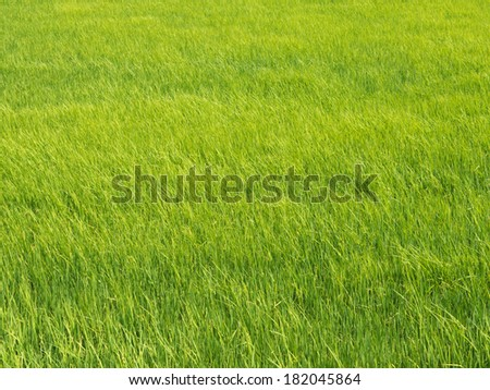 Green texture of rice field - stock photo