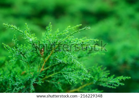 Green thuja branch closeup. - stock photo