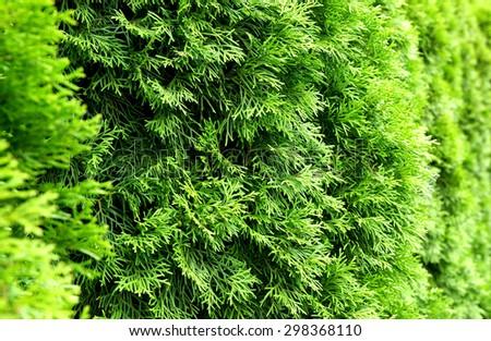 Green Thuja natural background - stock photo