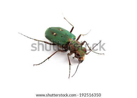 Green Tiger Beetle (Cicindela campestris) isolated on white - stock photo