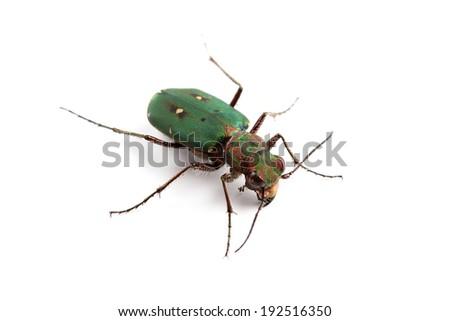 Green Tiger Beetle (Cicindela campestris) isolated on white - stock photo
