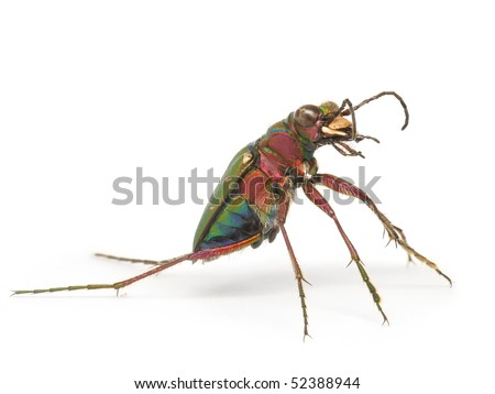 Green tiger beetle on white background