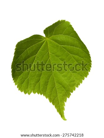 Green tilia leaf. Isolated on white background - stock photo