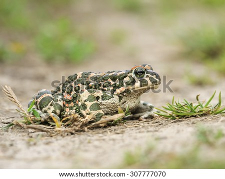 green toad - stock photo