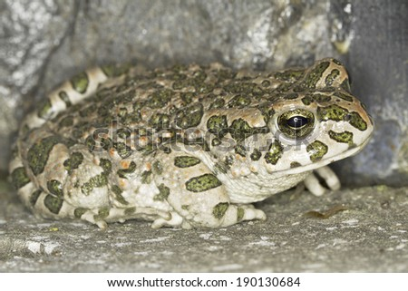 Green toad frog (Bufo viridis) in natural background  - stock photo