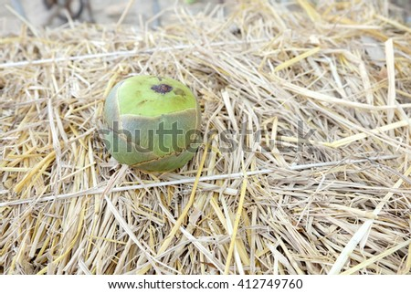 Green toddy palm fruit on the straw outdoor