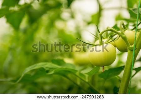 Green Tomato in a greenhouse - stock photo