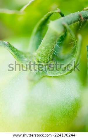 Green tomato on vine, extreme close-up - stock photo