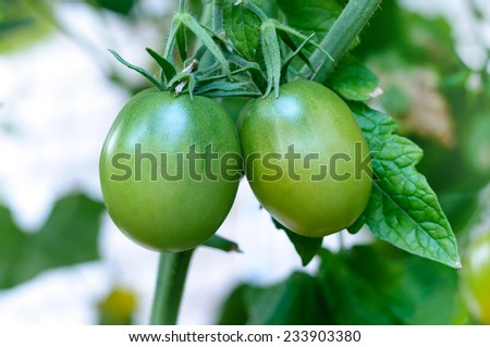 Green tomatoes - stock photo