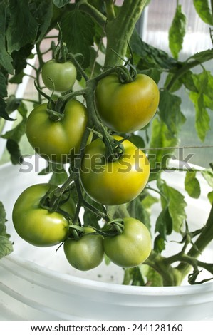 Green tomatoes bush in greenhouse - stock photo