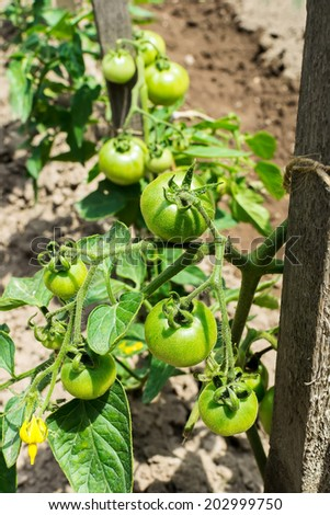 Green tomatoes growing on the branches - cultivated in the garden. - stock photo