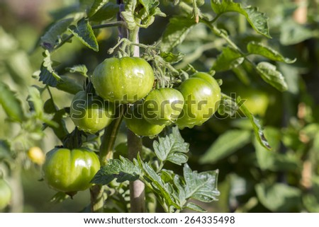 Green Tomatoes in a garden - stock photo