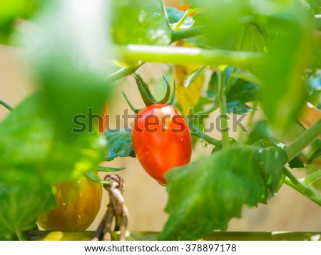 Green tomatoes in the garden , Ripe garden tomatoes, fresh tomatoes - stock photo