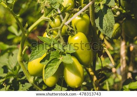 Green tomatoes on a branch growing in a greenhouse in the garden