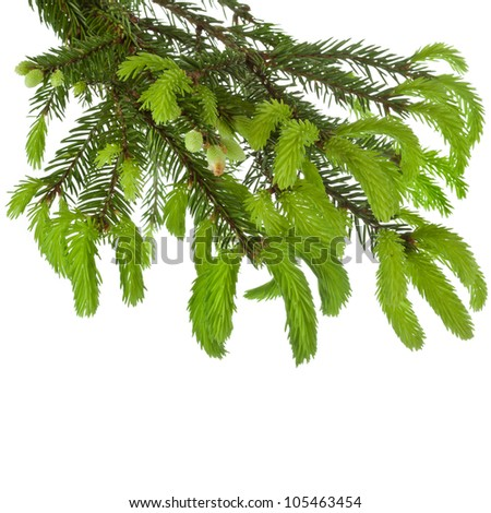 green tree branch with young soft fir shoots isolated on white - stock photo