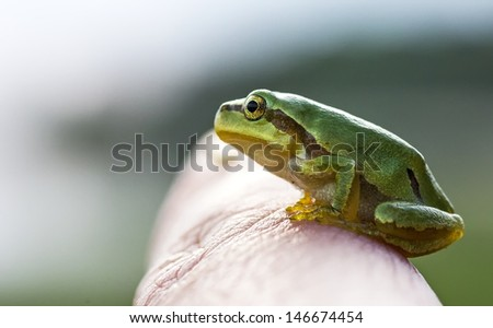 Green Tree Frog (Hyla Arborea) in a finger - stock photo