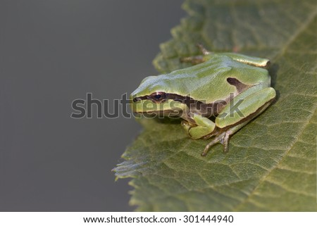 Green tree frog Hyla arborea on tree leaf - stock photo