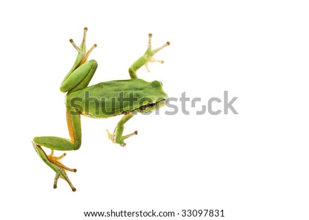 Green Tree Frog isolated on white background. - stock photo