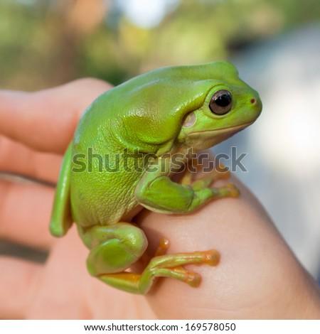 Green Tree Frog (Litoria caerula) in northern Australia - stock photo