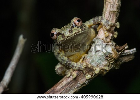 Green Tree Frog on a flower branches , Closeup on a green tree frog, Kundasang, Borneo - stock photo