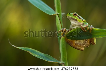 Green Tree Frog on a reed leaf (Hyla arborea) - stock photo