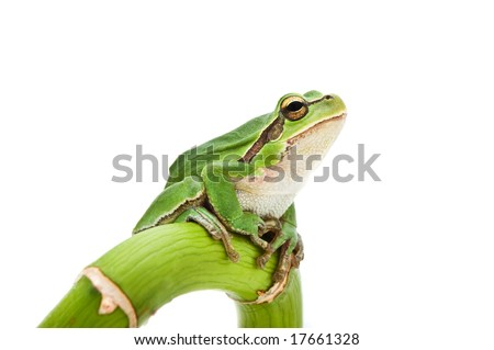 Green Tree Frog on green branch isolated on white background. Shallow DOF. - stock photo