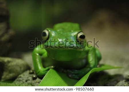 Green Tree Frog sitting on a leaf in its natural habitat. - stock photo