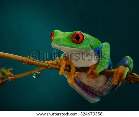 Green tree frog with orange legs and red eyes hanging on a branch on a dark background - stock photo