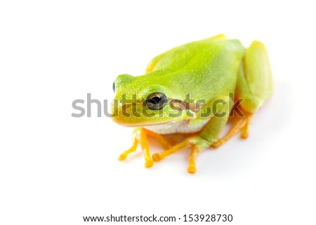 Green tree frogs close up over white background - stock photo