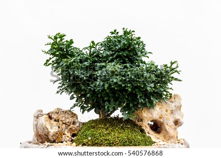 Green tree in small pots on a white background