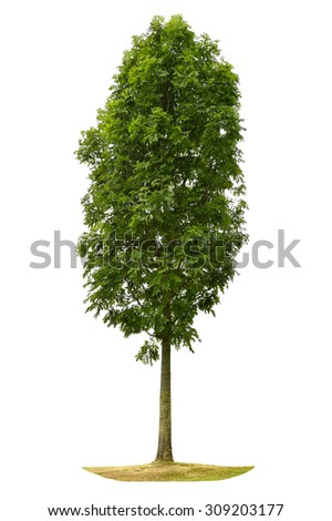 Green tree isolated on white background. Nature object