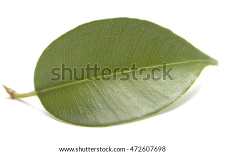 green tree leaf isolated on white