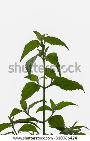 Green tree leaves in Asia on white background.
