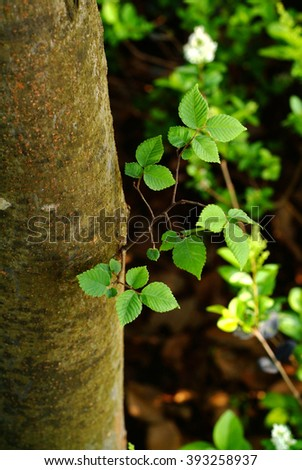 Green tree leaves isolated, in the spring forest.Beech leaves.