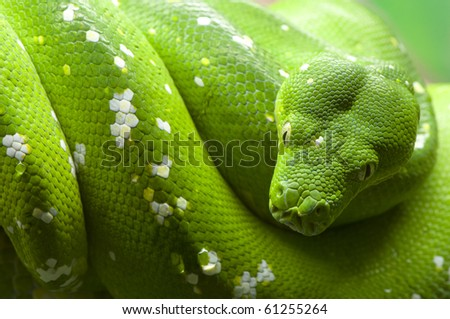 Green tree python... - stock photo