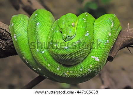 Green tree python (Morelia viridis) - stock photo