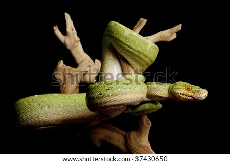 Green Tree Python (Morelia viridis) isolated on black background. - stock photo