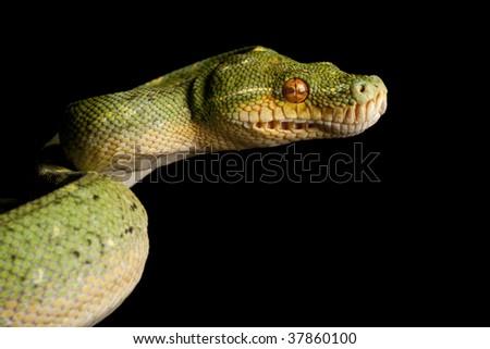 Green Tree Python (Morelia viridis) isolated on black background. - stock photo