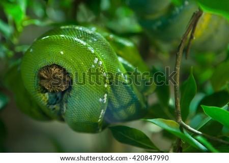 Green tree python (Morelia viridis). Wild life animal.  - stock photo