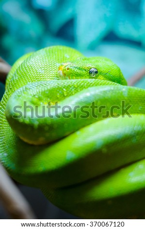 Green tree python on a branch, zoo in Russia