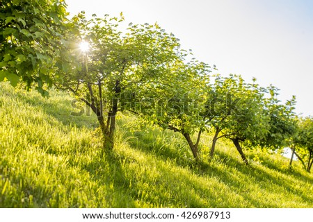 green trees on a slope with the sun in the leaves