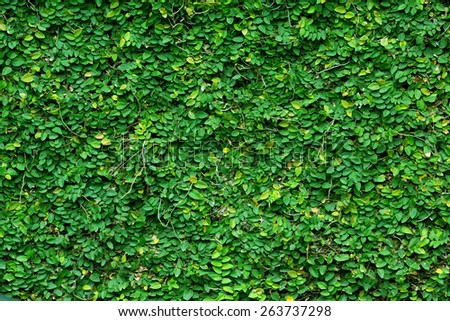 Green tropical climbing plant covering a stone wall - stock photo